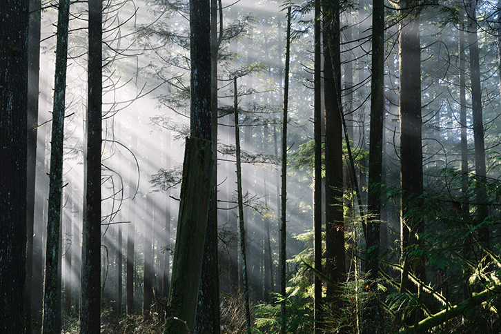 sunrasy beaming through the trees in the forest. They are illumiating the green in the evergreen leaves